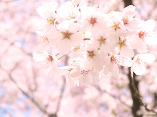 さくら、咲いたよ。